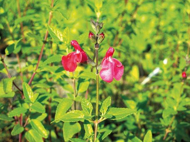 Salvia microphylla, Johannisbeersalbei
