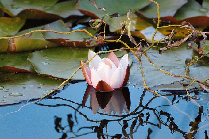 Eine Rose erblüht auf dem Teich zu voller Pracht – ein Anblick, der das Herz erfreut.