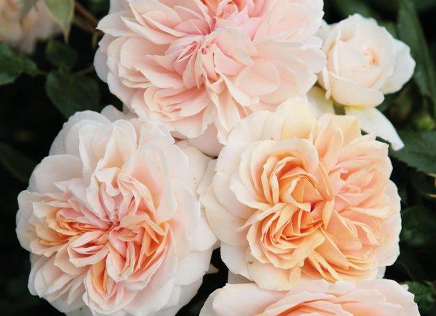Garden of Roses®, Kordes 2006: Moderne Rose mit nostalgischen Blüten und zartem Duft.