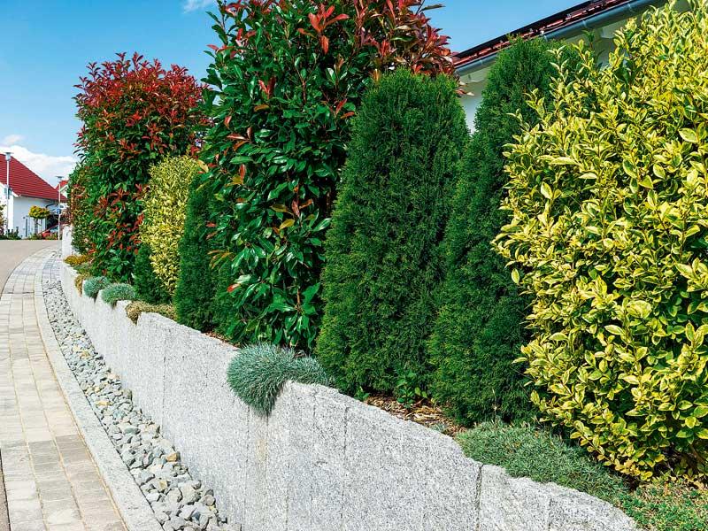 Gemischte Hecke als Sichtschutz im Garten